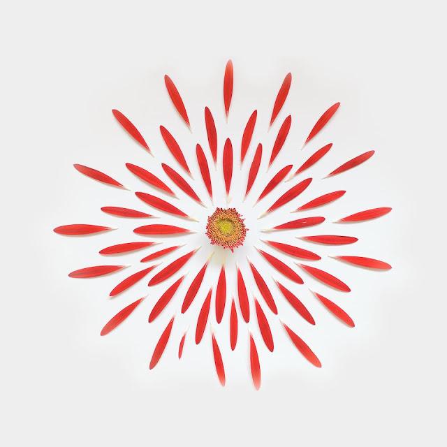 fong-qi-wei-exploded-flowers-gerbera