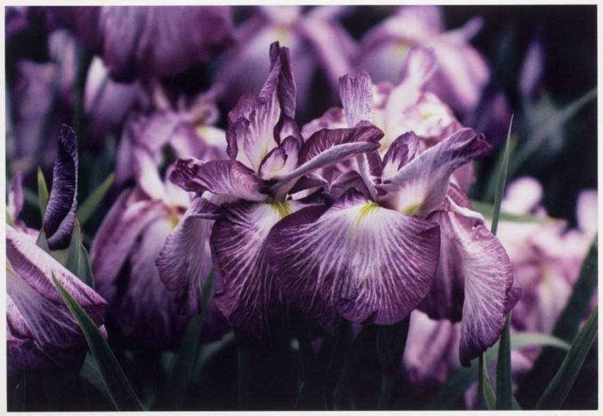 Ernst Haas - Flowers - 2