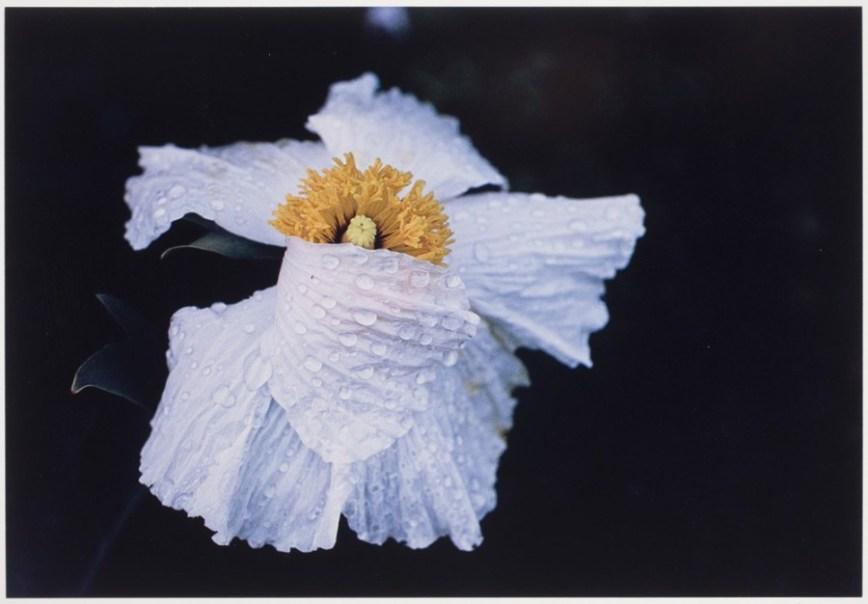Ernst Haas - Flowers - 4
