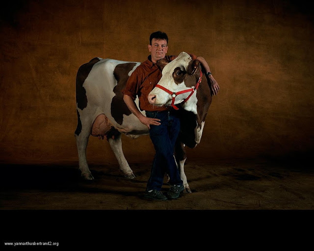 yann-arthus-bertrand-farm-animal-portraits-guernsey-dairy-cattle
