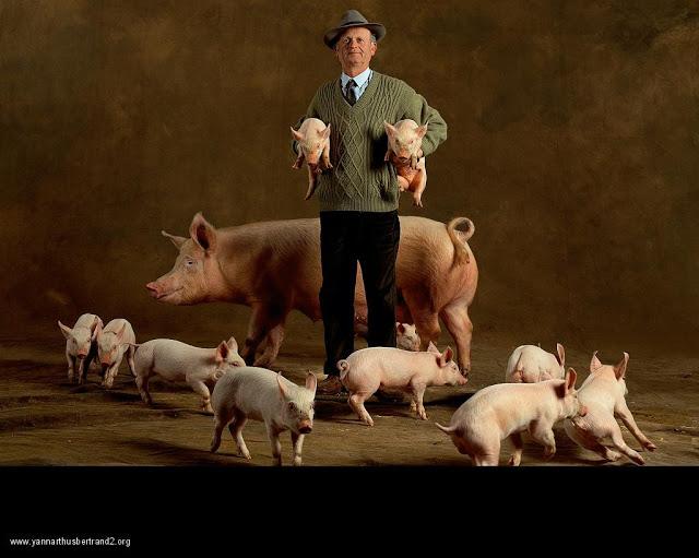 yann-arthus-bertrand-farm-animal-portraits-large-white-pig