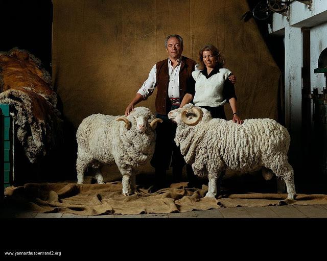 yann-arthus-bertrand-farm-animal-portraits-merino-wool-sheep-ram