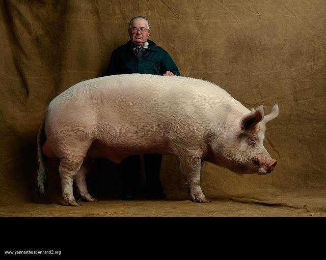 yann-arthus-bertrand-farm-animal-portraits-middle-white-pig
