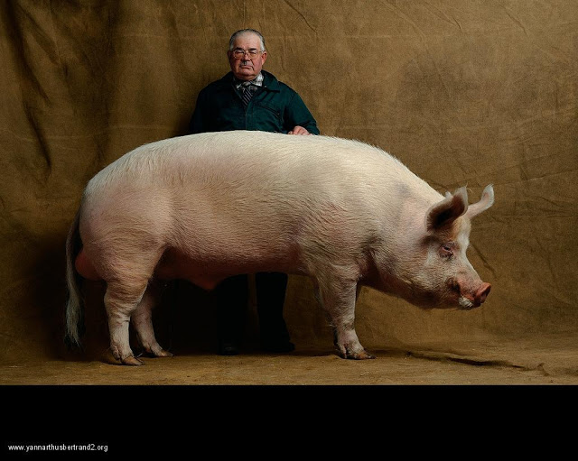 yann-arthus-bertrand-farm-animal-portraits-middle-white-pig