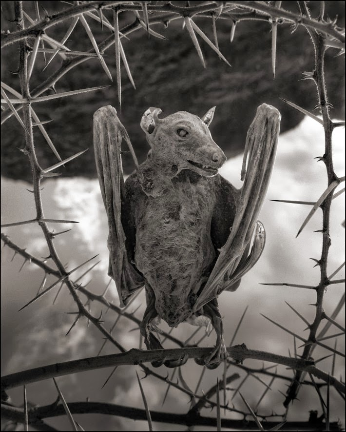 -Nick-Brandt-Calcified-Bat-deadly-lake-in-tanzania-calcifies-animals--02Nick Brandt