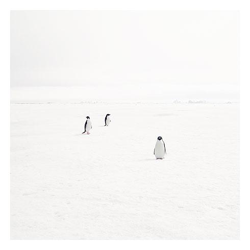 53_adeli penguins on fast ice