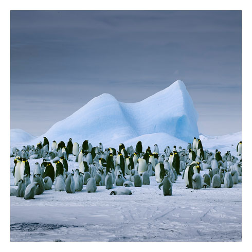 59_ emperor penguins and iceberg